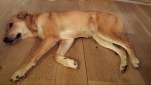 Eichenboden und Hund